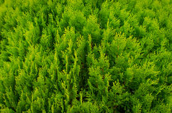 A well landscaped hedge of bushes boxwood Royalty Free Stock Photography