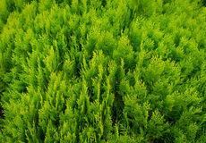 A well landscaped hedge of bushes boxwood Stock Photo