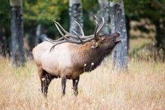 Well lit bull elk bugling Stock Photo