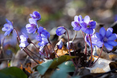 Well lit spring flowers (anemone hepatica) Stock Photo