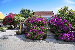 Beautiful blooming Bougainvilla in front of Home in Aruba, Caribbean Sea royalty free stock image