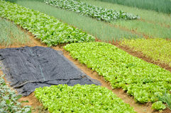 Well maintenanced Vegetable field Royalty Free Stock Images