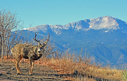 A Well Racked Buck in Front of Pikes Peak Stock Image