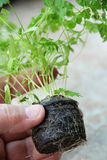Well rooted chervil Royalty Free Stock Photography