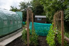 Well tended allotment in Yorkshire growing peas and beans and cabbages