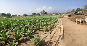 Well tended tobacco field Stock Photos