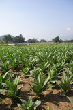 Well tended tobacco field Royalty Free Stock Images