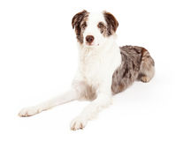 Well Trained Border Collie Dog Laying Stock Photography