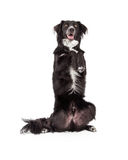 Well Trained Border Collie Mix Breed Dog Begging. A well trained Border Collie Mix Breed Dog begging while looking forward Stock Image