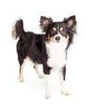 Well Trained Chihuahua Mixed Breed Dog Standing Stock Photos