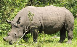Rhinos at Ziwa Rhino and Wildlife Ranch, Uganda