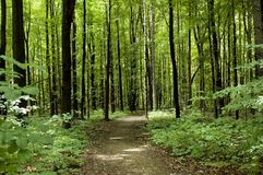 Well Worn Path. A well worn path leads into the forest Royalty Free Stock Photo