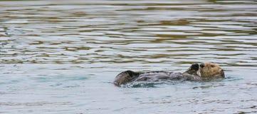 Wellenartig bewegender Otter Stockfoto