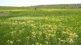 Wellenartig bewegendes blühendes Feld im Frühjahr stock footage
