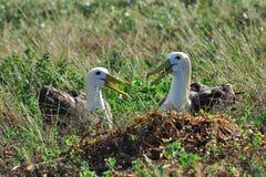 Wellenartig bewogene Albatros-Umwerbung Lizenzfreie Stockfotografie