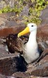 Wellenartig bewogene Albatros-Verschachtelung auf Espanola Insel Stockfotografie