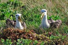 Wellenartig bewogene Albatrosumwerbungbildschirmanzeige Stockfotos