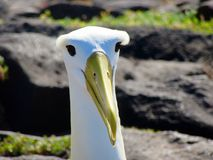 Wellenartig bewogener Albatros Lizenzfreie Stockbilder