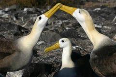 Wellenartig bewogener Albatros (Phoebastria irrorata) Lizenzfreies Stockbild