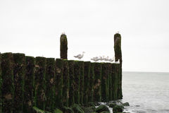 Wellenbrecher mit Seemöwen auf der Küstenlinie der Nordsee Lizenzfreies Stockfoto