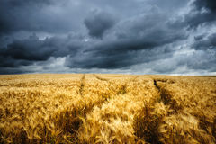 Wellenförmige Weizen-Felder Stockbilder
