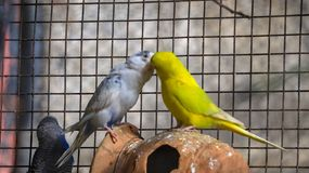 Wellensittiche Budgie stockbild