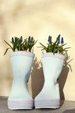 Wellies con i giacinti della perla Fotografie Stock
