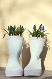 Wellies with pearl hyacinths Stock Photos