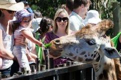 El niño alimenta una jirafa Imagen de archivo libre de regalías