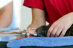 Injured Kiwi during a surgery. WELLINGTON - FEB 26: Injured Kiwi during a surgery on February 26 2013 February 26 2013 in Wellington Zoo, New Zealand. It is the royalty free stock photos