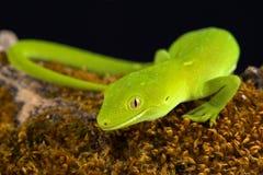 Wellington green gecko Naultinus punctatus Stock Photos