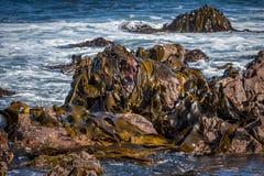 Red Rocks Seaweed. Stock Images