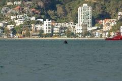 Wellington Whale Pokes Head Up om Omgeving, Nieuw Zeeland te spioneren stock fotografie