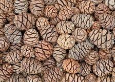 wellingtonia ели конусов стоковые изображения