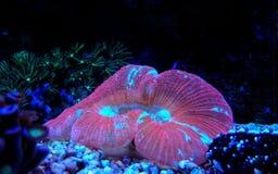 Wellso сложило radiata Trachyphyllia коралла мозга Стоковые Фото