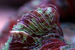 Wellso Brain Coral Trachyphyllia radiata. Trachyphyllia Brain Coral is a Large Polyp Stony LPS coral, often referred to as the Pacific Rose Coral, or an Open royalty free stock photography