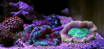 Wellso Brain Coral Trachyphyllia radiata. Trachyphyllia Brain Coral is a Large Polyp Stony LPS coral, often referred to as the Pacific Rose Coral, or an Open royalty free stock photo