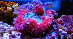 Wellso dobrou o radiata de Brain Coral Trachyphyllia Fotografia de Stock Royalty Free
