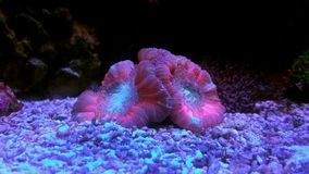Wellso dobrou o radiata de Brain Coral Trachyphyllia Imagem de Stock Royalty Free