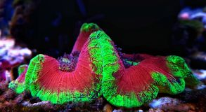 Wellso ha piegato il radiata di Brain Coral Trachyphyllia Immagine Stock Libera da Diritti
