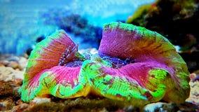 Wellso ha piegato il radiata di Brain Coral Trachyphyllia Immagini Stock