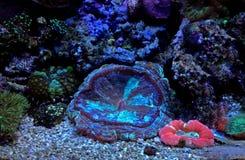 Wellso ha piegato il radiata di Brain Coral Trachyphyllia Fotografie Stock
