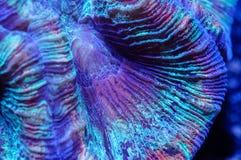 Wellsophyllia脑珊瑚 免版税库存照片