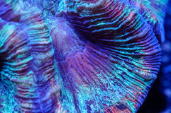 Wellsophyllia móżdżkowy koral zdjęcie royalty free