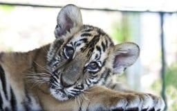 Welp 4 van de tijger royalty-vrije stock afbeelding