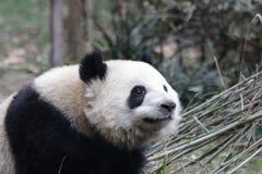 Welp van de close-up de Reuzepanda ` s, Chengdu, China stock foto's