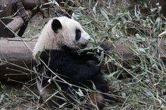 Welp van de close-up de Reuzepanda ` s, Chengdu, China stock afbeeldingen