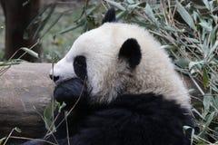 Welp van de close-up de Reuzepanda ` s, Chengdu, China royalty-vrije stock afbeeldingen