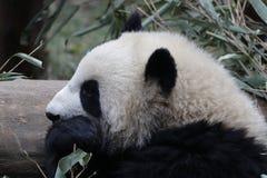 Welp van de close-up de Reuzepanda ` s, Chengdu, China stock fotografie