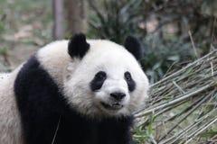 Welp van de close-up de Reuzepanda ` s, Chengdu, China royalty-vrije stock afbeelding